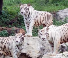 scientists find one gene responsible for all white tigers